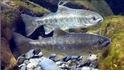 飛越七家灣溪的櫻花鉤吻鮭
