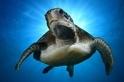 光環加身:綠蠵龜