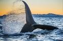 影像藝廊:虎鯨的盛宴