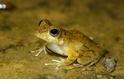 「我不是日本樹蛙」 以叫聲識新種 太田樹蛙報到