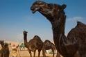 駱駝也整容?12隻駱駝因注射肉毒桿菌失去選美資格
