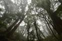 中央山脈核心區 發現百株紅檜巨木群
