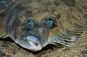 朝天眼的比目魚怎麼看得到海底?