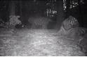 影片:罕見老虎家族在中國入鏡