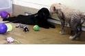 可愛風暴來襲:和黑拉拉一起長大的獵豹寶寶
