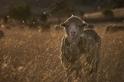 迎向陽光:澳洲受虐羊