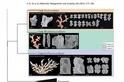 深海紅珊瑚 台灣重新界定為3個屬
