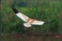 來自北方的小白鶴