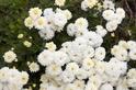 特異菊科品種 有效抑制肌膚老化