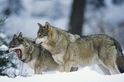 狼群打呵欠也會傳染