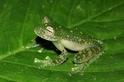 發現新種透明青蛙