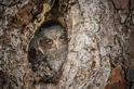 小東嗚角鴞