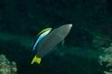 這種小魚能從鏡中認出自己,代表牠有「自我」的觀念嗎?