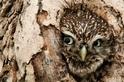 樹洞躲貓貓:窺探的貓頭鷹