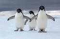 磷蝦捕撈業終於低頭,南極企鵝不用怕挨餓了