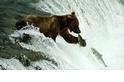 【動物好朋友】棕熊(Brown bear)