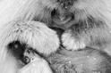 雪猴泡湯:梳理幼猴