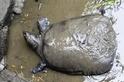 著名神鱉逝世──全球只剩三隻了!