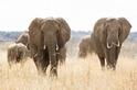 拯救大象就靠辣椒保險套&鞭炮