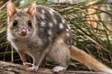 消失近半世紀,可愛討喜的東袋鼬重返澳洲大陸了!