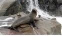 【動物好朋友】加洲海獅(California sea lion)
