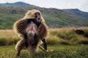 最後的草食猴