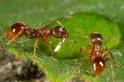 為了活命,螞蟻丟掉死亡的同伴