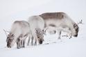 暖化有利馴鹿生存?