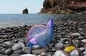 海邊的「氣球」不要撿──僧帽水母