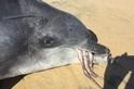「不要一次吃太大口!」首次發現海豚被章魚噎死