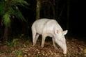 超罕見美洲貘白子 巴西現身