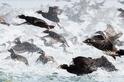 斑頭海番鴨
