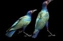 紫色輝椋鳥