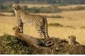 哪隻獵豹不偷腥?