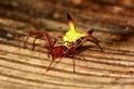 為什麼這隻蜘蛛的屁股長得那麼卡通?