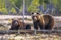 母熊和公熊在一起