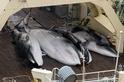 鯨魚如何「被自投羅網」?