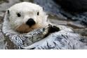 【動物好朋友】海獺(Sea otter)