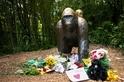 大猩猩可能只是在跟男童玩