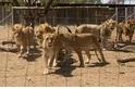 南非每年出口1500副獅骨,而這一切卻合法?