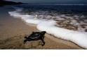 【動物好朋友】棱皮龜(Leatherback sea turtle)