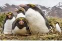 高貴的馬可羅尼企鵝