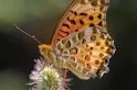 斐豹蛺蝶的追逐