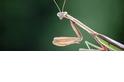 連鳥都吃!你還敢小看螳螂嗎?