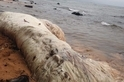 菲律賓海灘上的神秘毛怪