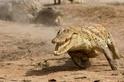 十項你不知道的鱷魚真相!(下)