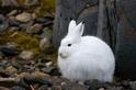 雪鞋野兔能否應付氣候變遷?
