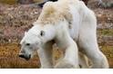 「對於眼中所見,我毫無準備」飢餓北極熊照片的省思