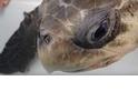 吸管怎麼會跑進海龜鼻子裡?