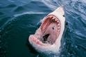 自1950年以來,鯊魚攻擊的危險率已明顯減少